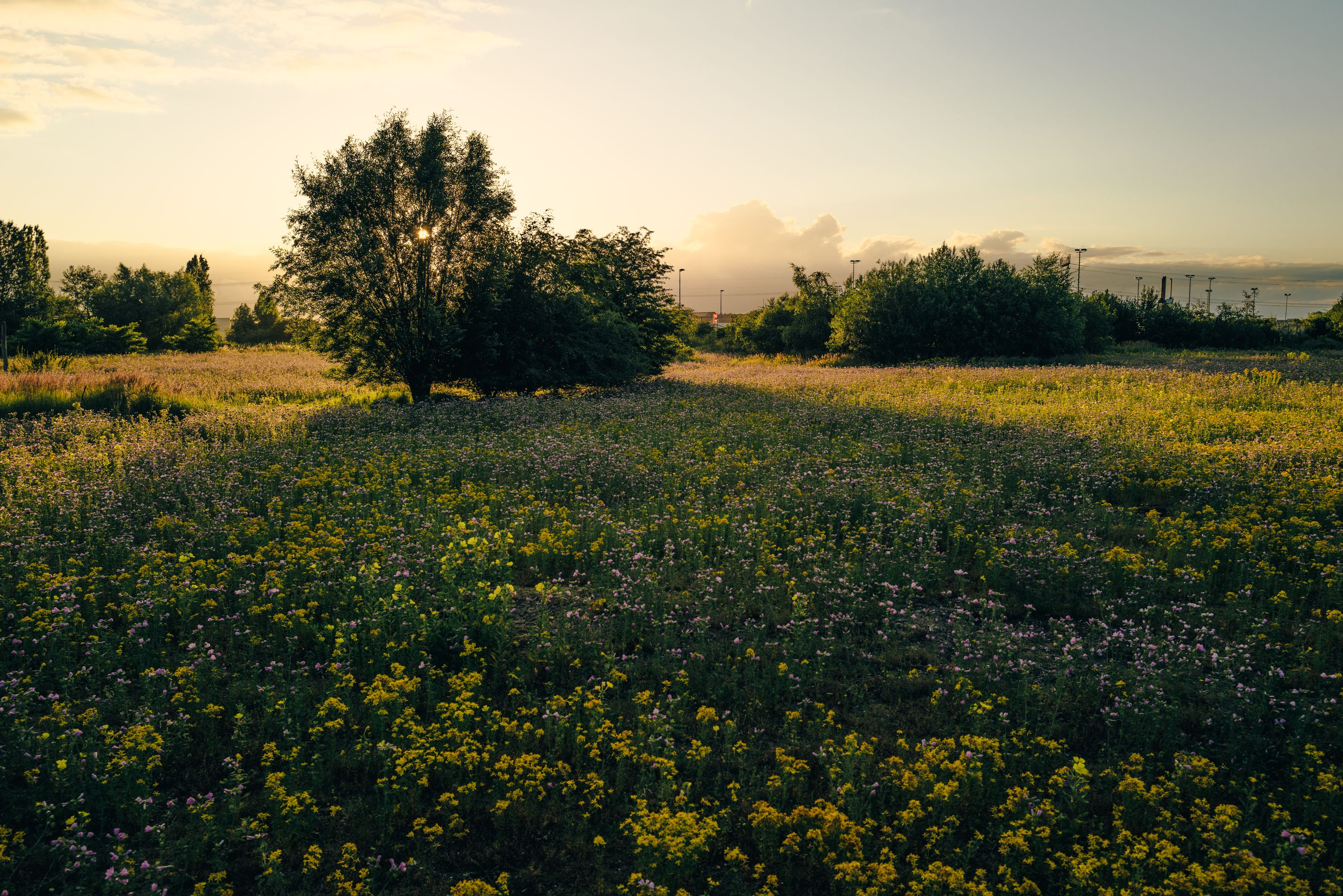morning meadow 1